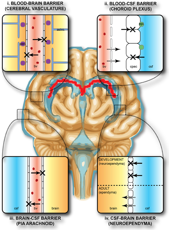 a diagram of the structure and function of the blood brain barrier